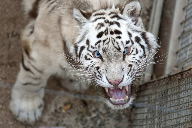 A Siberian tiger at a photographer for getting too much in its face  during the presentation of two new Siberian tigers at Cabarceno Natural Reserve in Cabarceno, northern Spain, 21 July 2014. (Photo by Pedro Puente Hoyos/EPA)