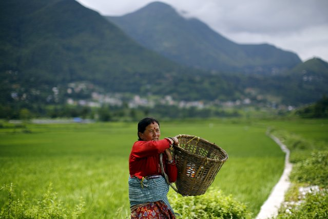 A woman carries a basket as she heads towards her field at Khokana in Lalitpur, Nepal August 18, 2015. (Photo by Navesh Chitrakar/Reuters)