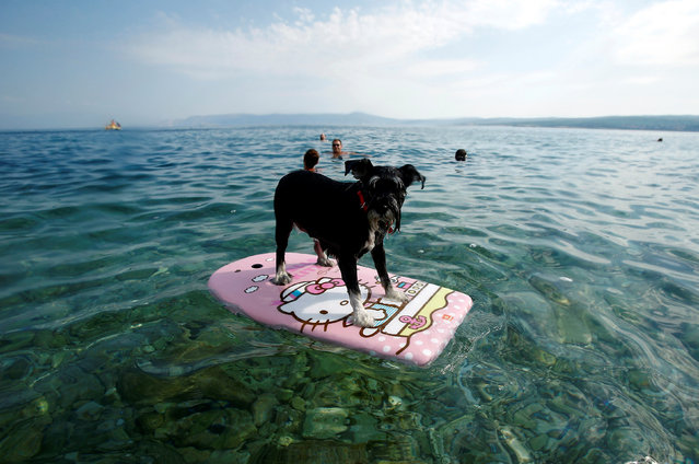A dog is seen on a swimming board at dog beach and bar in Crikvenica, Croatia, July 12, 2016. (Photo by Antonio Bronic/Reuters)
