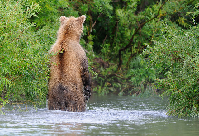 Where's the fish?/n. South Kamchatka Sanctuary<><>South Kamchatka Sanctuary; Kuril Lake; Kamchatka; bear; salmon; spawning