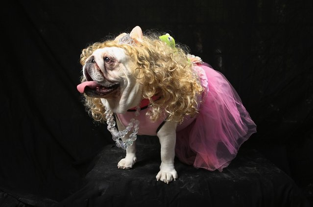 Bulldog Bella poses as Miss Piggy at the Tompkins Square Halloween Dog Parade on October 20, 2012 in New York City