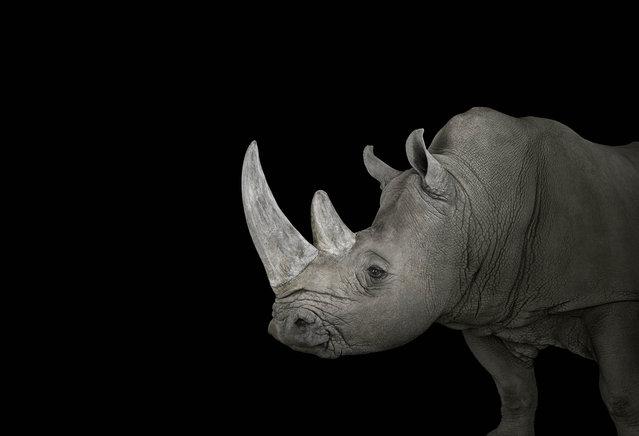 Rhino. (Photo by Brad Wilson/Caters News)