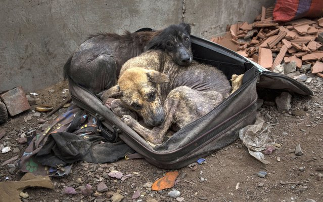 Dogs Bobby, right, and Chato, warm themselves inside a rickety suitcase while protecting from winter temperatures, in the outskirts of Lima, Peru, Thursday, June 25, 2020. (Photo by Rodrigo Abd/AP Photo)