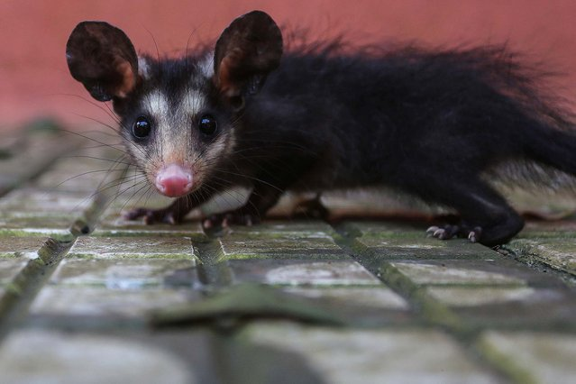 "Photo taken on September 19, 2015 shows a baby Brazilian opossum at the ""Parque Estoril"" zoo in Sao Bernardo do Campo of Sao Paulo, Brazil. According to local press, the ""Parque Estoril"" zoo houses currently 23 orphan cubs of wild animals rescued in the south region of Sao Paulo, victims of illegal wildlife trade or problems caused by urban growth. (Photo by Rahel Patrasso/Xinhua via ZUMA Wire)"