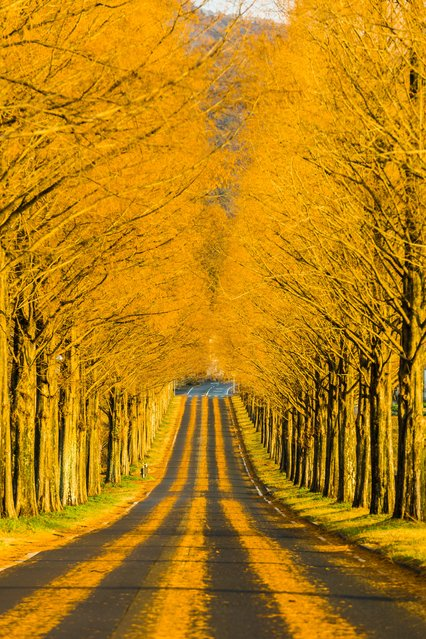 """Through the golden road"". Just a short while on a late winter morning, you can see this road with metasequoia leaves. After a few hours, the road is distorted by car's sliding and swinging. If you are lucky enough, you can see this. A combination between nature and human beings. Photo location: Takashima, Japan. (Photo and caption by Takahiro Bessho/National Geographic Photo Contest)"