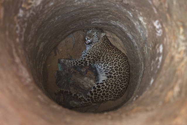 A full grown female leopard looks up from inside a deep well that it fell into near a residential area on a hill on the outskirts of Gauhati, India, Wednesday, December13, 2017. Veterinarian and forest officials tranquilized and rescued the leopard before sending it to the state zoological park in Gauhati. (Photo by Anupam Nath/AP Photo)