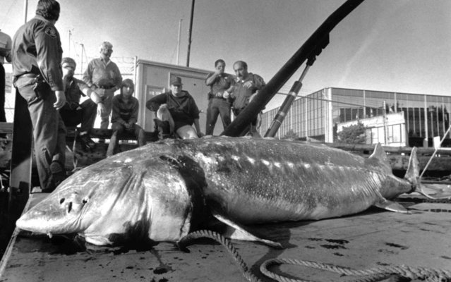 "This November 6, 1987 file photo shows an 11-foot sturgeon, weighing nearly a half-ton, found dead in Seattle's Lake Washington, near Kirkland, Wash. In the area, tales have long persisted of a huge, duck-eating ""monster"". A member of this bottom-feeder fish species is reported to have lived to be 152. (Photo by Jim Bates/AP Photo)"