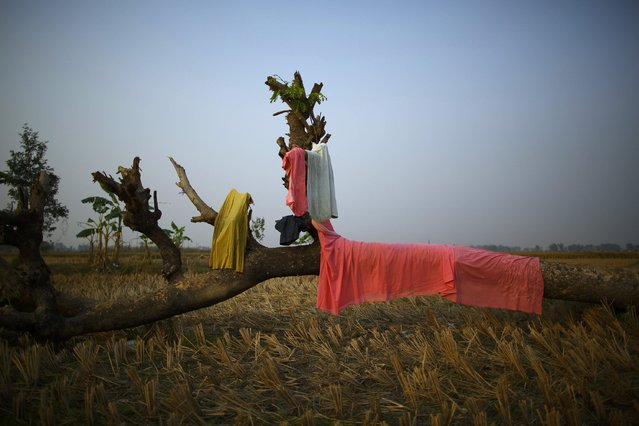 """Laundry left to dry on a dead tree is pictured near the enclosure for buffalos awaiting sacrifice on the eve of the sacrificial ceremony for the """"Gadhimai Mela"""" festival in Bariyapur November 27, 2014. (Photo by Navesh Chitrakar/Reuters)"""
