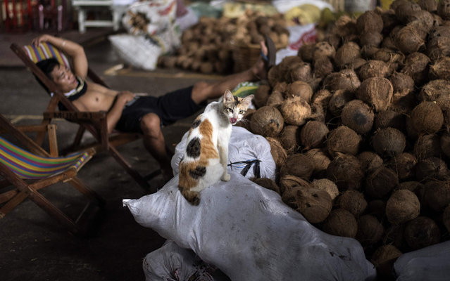 A cat sits on a sack of coconuts, as a worker takes a rest at a market in Manila on January 23, 2018. An estimated 10 million Filipinos work overseas and the money they send home is a major pillar of the Philippine economy. (Photo by Noel Celis/AFP Photo)