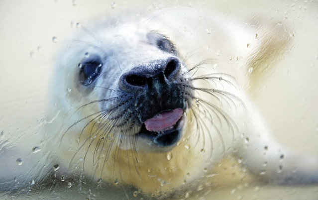 "Grey seal pup ""Nikolaus"" licks a window at the seal enclosure in Friedrichskoog, Germany, 19 December 2014. The pup was abandoned by his mother and would not have a chance at survival without human help. Nikolaus will be fed at the enclosure for two to three months until he has reached the minimum weight of 45 kilograms for being released. (Photo by Daniel Reinhardt/EPA)"