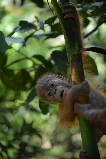 In this photograph taken on April 8, 2013, an endangered six month old male baby orangutan rescued from a pet owner learns to climb a tree while undergoing rehabilitation at the Sumatran Orangutan Conservation Program quarantine area in Sibolangit village located in Indonesia's Sumatra island. According to environmentalists poachers kill or maim the mother orangutan to take her baby.  Experts believe there are about 50,000 to 60,000 of the two species of orangutans left in the wild, 80 percent of them in Indonesia and the rest in Malaysia.They are faced with extinction from poaching and the rapid destruction of their forest habitat, mainly to create palm oil plantations. Environmental groups are pushing for stronger forest and wildlife protection and conservation as April 22, 2013 marks Wold Earth Day. (Photo by Romeo Gacad/AFP Photo)