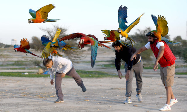 People train parrots during a parrot-training show held by Kuwaiti bird lovers in Jahra Governorate, Kuwait, December 7, 2020. (Photo by Xinhua News Agency/Rex Features/Shutterstock)