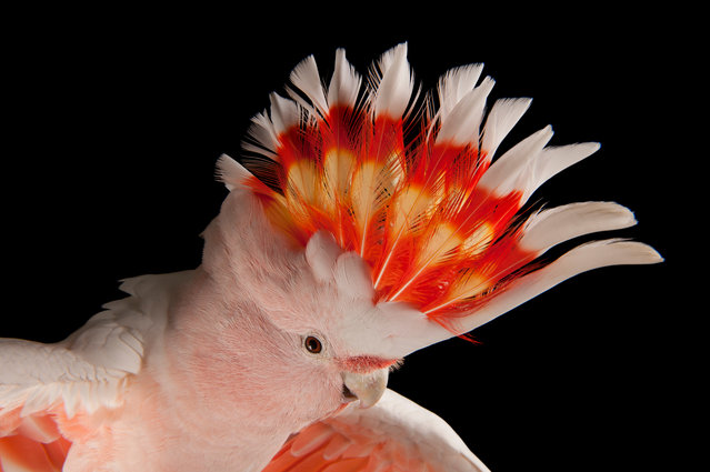 Major Mitchell's cockatoo underwent a precipitous population crash in Australia, largely due to the illegal collection of eggs for the pet trade. The population is slowly recovering due to better law enforcement, but the species remains at risk from the clearing of woodland habitat and the destruction of nesting trees. (Photo by Joel Sartore/Getty Images/National Geographic Creative)