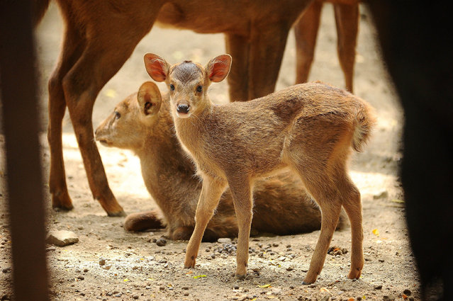 A baby Hog Bawean deer playes with her family at Surabaya Zoo on January 9, 2015 in Surabaya, Indonesia. In the midst of prolonged internal management conflict over the treatment of animals, Surabaya Zoo starts the new year cheerfully with the presence of two new members, a baby Hog Bawean deer (Axis kuhlii) on January 1 and a baby Common Hippo (Hippopotamus amphibius) on January 2. (Photo by Robertus Pudyanto/Getty Images)