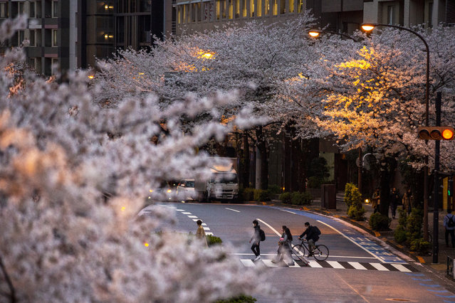 People wearing protective masks to help curb the spread of the coronavirus walk across a street under a canopy of cherry blossoms Sunday, March 28, 2021, in Tokyo. (Photo by Kiichiro Sato/AP Photo)