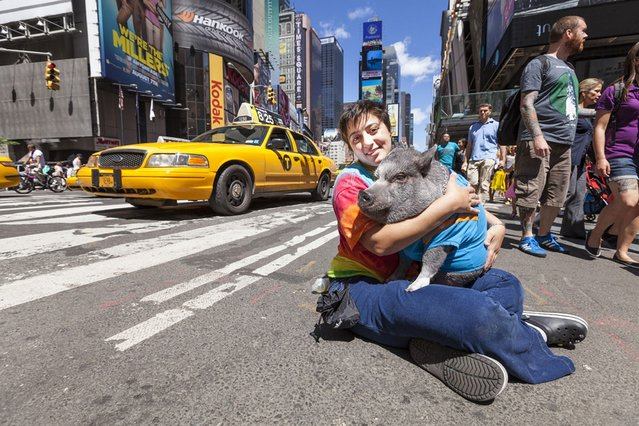 Nadine Darsanlal with her pet service pig in New York City, on August 15, 2013. Emotional support animal, Wilbur, accompanies Nadine, a disabled Navy veteran, everywhere she goes, providing therapeutic benefits through companionship and affection. (Photo by Alexandre Ayer/Barcroft Media)